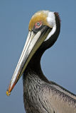 Pelican Portrait. Florida Pelican standing tall against the blue sky Royalty Free Stock Image