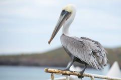Free Pelican Portrait Royalty Free Stock Image - 35130086