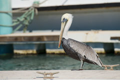 Free Pelican Portrait Royalty Free Stock Images - 35141739