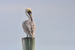 Pelican portrait. A brown pelican posing for a portrait in Florida Royalty Free Stock Photo