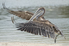 Free Pelican Portrait Stock Photography - 50768042