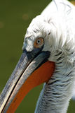 Pelican Portrait Royalty Free Stock Image