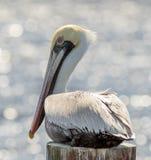 Pelican Portrait Royalty Free Stock Photos