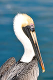 Pelican Portrait Close Up Royalty Free Stock Photos