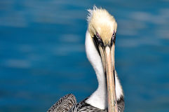 Pelican Portrait Close Up Royalty Free Stock Image
