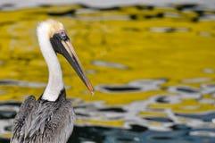 Pelican Portrait Close Up Stock Images