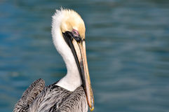 Pelican Portrait Close Up Royalty Free Stock Photography