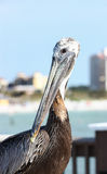 Pelican Portrait. A closeup of a pelican sitting on a pier in Florida royalty free stock images
