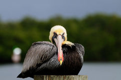 Pelican portrait front breeding colors Stock Image
