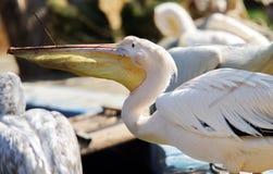 Wild bird. White Pelican Royalty Free Stock Photos