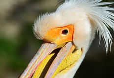 Pelican. Portrait of a Pelican at Lake Nakuru Stock Image