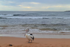 Pelican Portrait. A Pelican is portrayed in side view, while behind him the waves wash up on the shore. Wind ruffles his feathers and pushes the clouds along Royalty Free Stock Photography