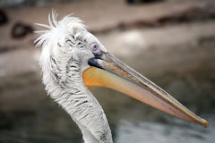 Pelican portrait in profile Stock Images
