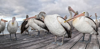 Pelican portrait on the sandy beach Stock Image