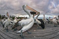 Pelican portrait on the sandy beach Royalty Free Stock Photo