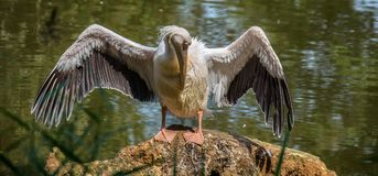 Pelican portrait showing its open large wings. stock image