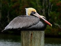 Pelican portrait side breeding colors Royalty Free Stock Photo