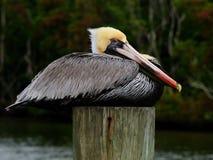 Pelican Portrait Side Breeding Colors Royalty Free Stock Photo
