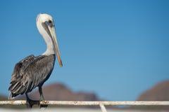 Pelican portrait Royalty Free Stock Image