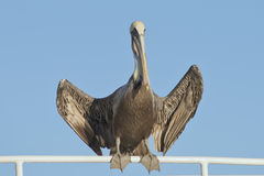 Pelican portrait Royalty Free Stock Images