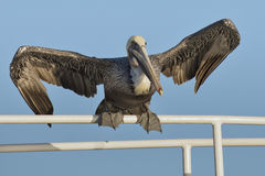 Pelican portrait Stock Photo