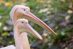 Pelican, a portrait Stock Images