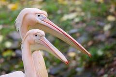 Pelican, a portrait Stock Images