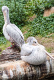 Pelican portrait Royalty Free Stock Photography