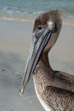 Pelican portret. Brown pelecan on Gulf of Mexico Royalty Free Stock Images