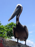 The Pelican Pose Stock Image