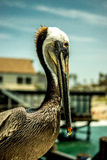 Pelican posing. A pelican posing for the camera Stock Photos