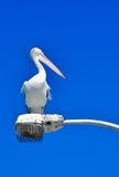 Pelican: Posing in Profile Stock Photography