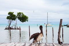 Pelican Posing, Traveler Sleeping on Wood Deck and White Boat royalty free stock image