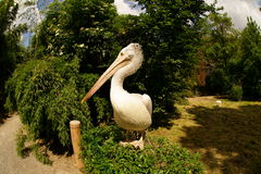 Pelican posing Royalty Free Stock Photos
