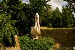 Pelican posing Stock Image