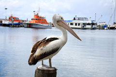 Pelican On a Post. A large pelican standing on top of a wharf pile in Port Stevens, Newcastle Australia Royalty Free Stock Photo