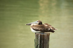 Pelican on post Royalty Free Stock Photography