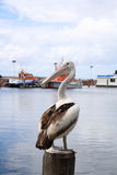 Pelican On a Post Stock Photos