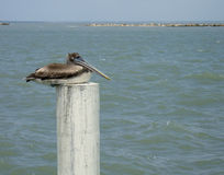 Pelican on post. A pelican perched on a post in the water Stock Photo