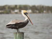 Pelican on a Post Royalty Free Stock Images