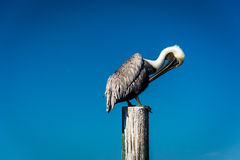 Pelican on a post in Saint Petersburg, Florida. Royalty Free Stock Photos
