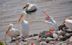 Pelican Pouch Exercises Royalty Free Stock Photos