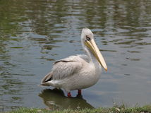 Pelican. The Pelican is poultry eat fish and flying Stock Photos