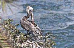Pelican Preening Stock Image