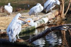 Pelican preening its feathers while sitting on the shore of the lake stock images