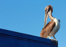 Pelican Preening on Ledge. A pelican preens itself on the ledge of a building Stock Photos