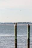 Pelican Preening on Post Stock Images