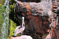 Pelican preening on rock Royalty Free Stock Photo