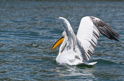 Pelican preparing to fly Stock Image