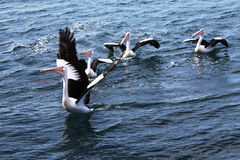 Pelican preparing to fly Royalty Free Stock Image